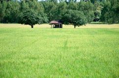 Os campos verdes do arroz da paisagem são bonitos Fotos de Stock