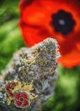 Os cannabis brotam na frente de uma flor da papoila - marijuana médica para Imagem de Stock Royalty Free