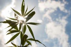 Os cannabis novos plantam o detalhe da planta de marijuana sob o sol fotografia de stock