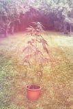 Os cannabis plantam no vaso de flores fora Fotografia de Stock