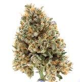 Os cannabis secados florescem a tensão do mangolope isolados sobre o branco fotos de stock royalty free