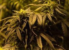 Os cannabis verdes crescem, detalhes macro foto de stock royalty free