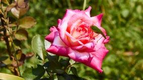Os cantans de Katydid Tettigonia em um cor-de-rosa aumentaram Fotos de Stock Royalty Free