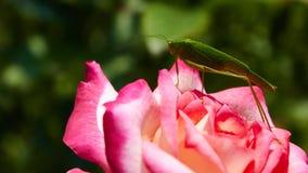 Os cantans de Katydid Tettigonia em um cor-de-rosa aumentaram Fotos de Stock