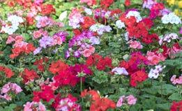 Os canteiros de flores no parque decoraram muitos tipos das flores nas explosões Fotografia de Stock Royalty Free
