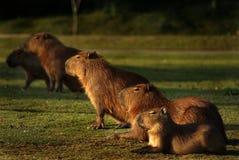 Os Capybaras Capivara Fotografia de Stock
