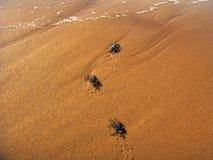 Os caranguejos pequenos vão para casa Fotografia de Stock