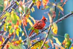 Os cardinalis cardinais do norte de Cardinalis empoleiraram-se em um ramo foto de stock