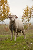 Os carneiros Foto de Stock