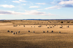 Os carneiros apreciam o campo no Patagonia no Chile Fotos de Stock Royalty Free