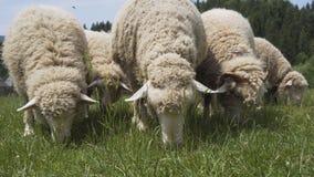 Os carneiros comem a grama