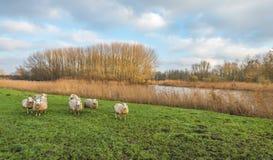 Os carneiros curiosos em um outono ajardinam com um rio pequeno Imagem de Stock