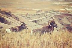 Os carneiros de Bighorn emparelham-se na grama, ermo parque nacional, EUA Imagem de Stock