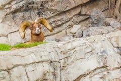 Os carneiros de Bighorn fecham-se acima do parque nacional de jaspe Fotos de Stock
