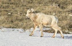 Os carneiros de Bighorn pairem na neve no refúgio nacional dos alces no inverno Imagem de Stock