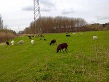 Os carneiros estão comendo gramas na exploração agrícola Imagens de Stock Royalty Free