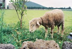 Os carneiros estão pastando imagens de stock
