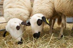 Os carneiros fecham-se acima imagem de stock