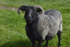 Os carneiros forçam, animais de exploração agrícola e animal de estimação Fotografia de Stock Royalty Free