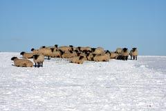 Os carneiros na neve cobriram o campo Imagem de Stock Royalty Free