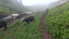 Os carneiros pastam na grama vídeos de arquivo
