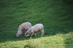 Os carneiros pequenos reunem no prado verde Imagens de Stock