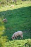 Os carneiros pequenos reunem no prado verde Fotografia de Stock