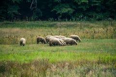 Os carneiros pequenos reunem a pastagem no prado perto da madeira Fotografia de Stock Royalty Free
