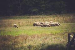 Os carneiros pequenos reunem a pastagem no prado perto da madeira Foto de Stock Royalty Free