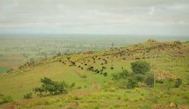 Os carneiros que pastam na montanha Fotos de Stock Royalty Free
