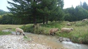 Os carneiros que saltam sobre o rio pequeno no movimento lento video estoque