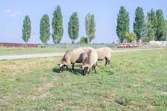 Os carneiros reunem alimentações na grama verde no campo da exploração agrícola Imagens de Stock Royalty Free