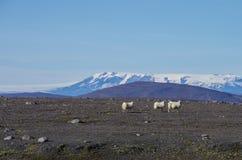 Os carneiros reunem nas montanhas da geleira Vatnajökul Fotos de Stock Royalty Free