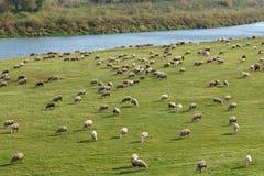Os carneiros são pastados em um prado Foto de Stock