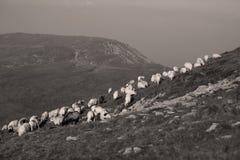 Os carneiros veem do dron Imagens de Stock