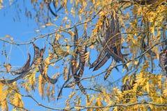 Os carobs Foto de Stock