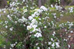 Os cassinoides brancos do Viburnum da cantiga do ` de Lil do Viburnum florescem Imagens de Stock Royalty Free
