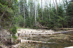 Os castores tinham roído árvores Fotos de Stock Royalty Free