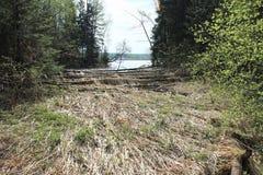 Os castores tinham roído árvores Foto de Stock Royalty Free
