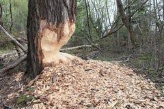 Os castores tinham roído árvores Imagem de Stock Royalty Free
