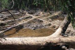 Os castores tinham roído árvores Imagens de Stock