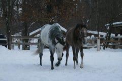 Os cavalos árabes andam na neve no prado imagens de stock
