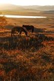 Os cavalos alimentam no nascer do sol Imagem de Stock