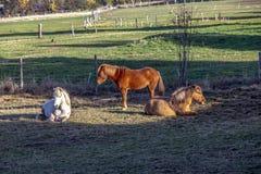 Os cavalos apreciam o prado para descansar fotografia de stock