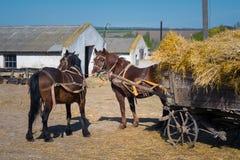 Os cavalos aproveitados a um carro trouxeram o feno a uma exploração agrícola para alimentar o grande gado fotografia de stock