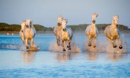 Os cavalos brancos de Camargue que correm na água azul no por do sol iluminam-se Foto de Stock