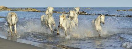 Os cavalos brancos de Camargue que correm na água azul no por do sol iluminam-se Fotos de Stock