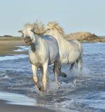 Os cavalos brancos de Camargue que correm na água azul no por do sol iluminam-se Fotografia de Stock Royalty Free