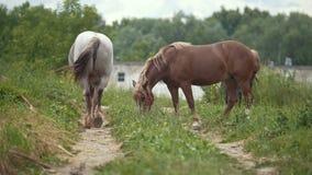 Os cavalos comem a grama em um esclarecimento no dia de verão vídeos de arquivo