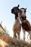 Os cavalos comem o feno. Imagens de Stock Royalty Free